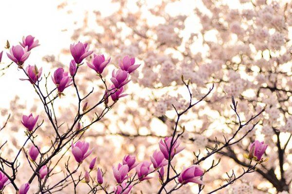 kwiaty wiśni - Japonia